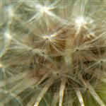 Dandelion by scott  - 